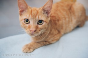 Your generosity helps SCHS find homes for abandoned cats such as Pretzel.